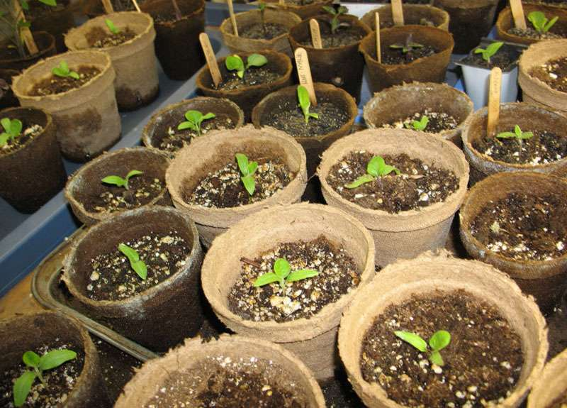 Выращивание рассады из семян 687