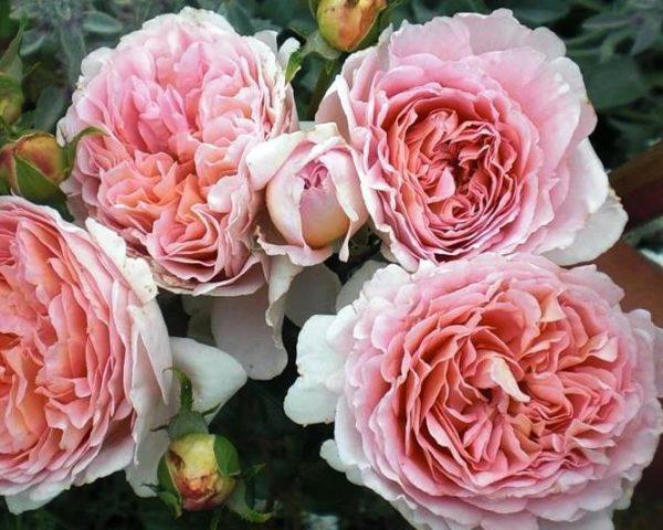 Букет роз Абрахам Дерби