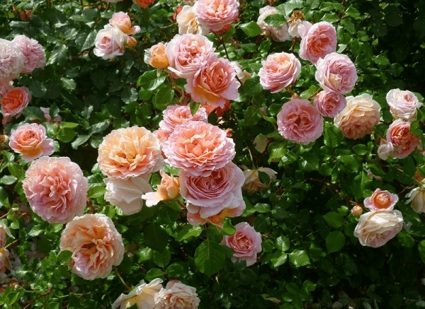 Цветы розы Абрахам Дерби