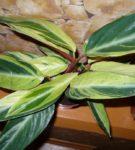 Строманта Horticolor