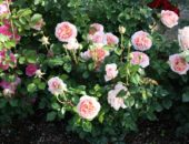 Куст розы Абрахам Дерби
