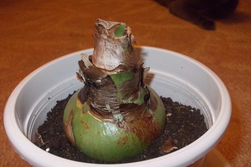 Выращивание гиппеаструмов в домашних условиях 55