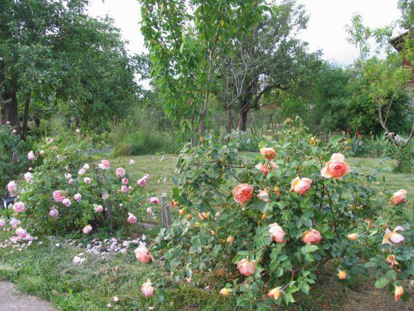 Посадки роз Абрахам Дерби