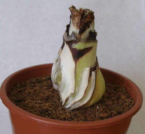 Отделённая часть луковицы гиппеаструма