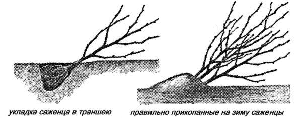 Прикопанные на зиму саженцы вишни