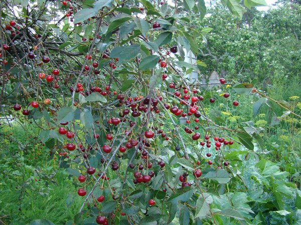 Куст вишни Владимирской