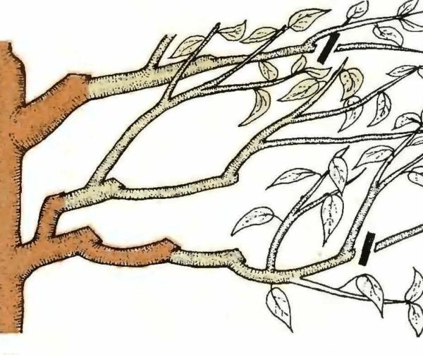 Обрезка оголившихся ветвей вишни весной