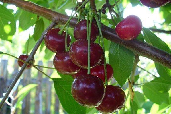 Плоды вишни Владимирской