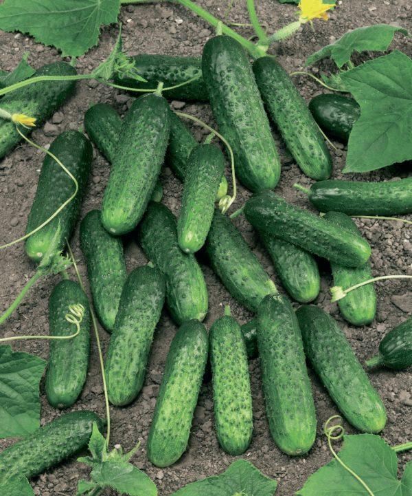 Плоды сорта Маринда