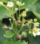 Цветки, повреждённые долгоносиком