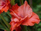 Цветок красного гладиолуса
