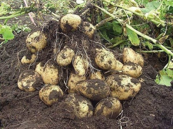 Картофель с ботвой