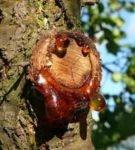 Камедетечение вишни