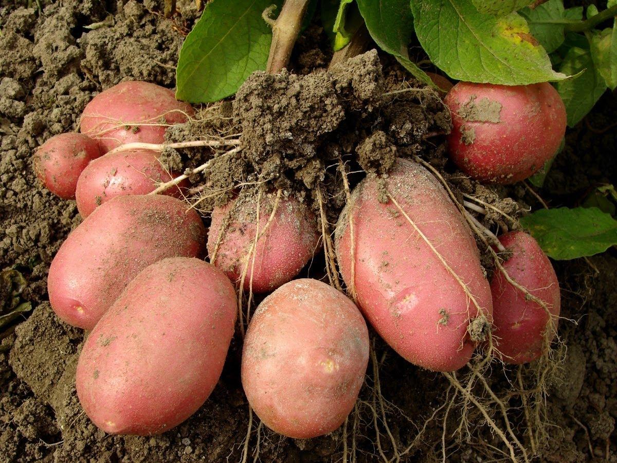 Огород когда сажать картофель 102
