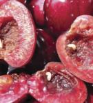 Личинки вишнёвой мухи