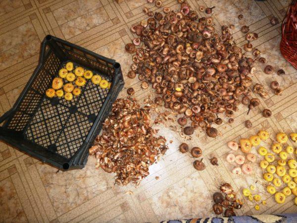 процесс очищения луковиц гладиолуса