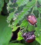 Малинный жук на листьях
