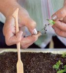 Пикировка сеянцов садовой земляники