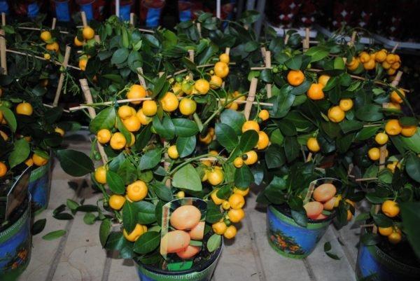 плодоносящие мандариновые деревья