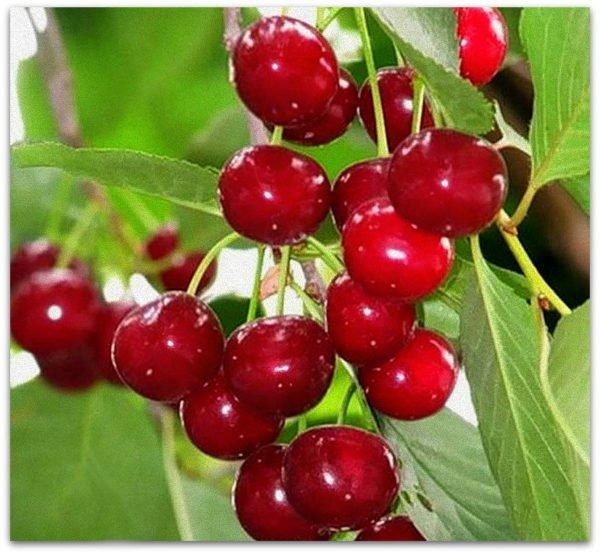 плоды вишни Шпанка