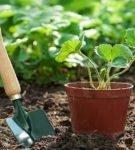 Посадка молодого кустика садовой земляники