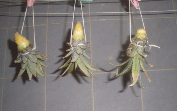 Просушка верхушки ананаса