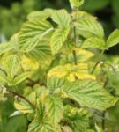 Листья малины, поражённые хлорозом