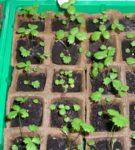 Садовая земляника с настоящими тройными листами