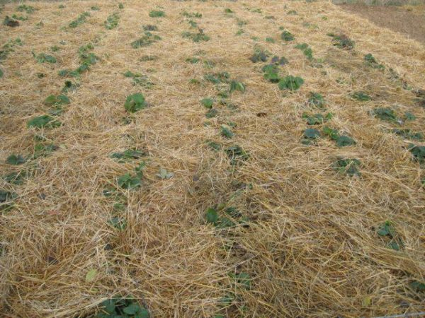 Садовая земляника, укрытая сеном