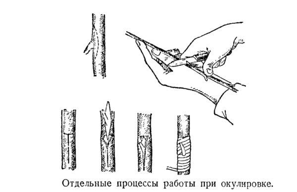 схемы окулировки