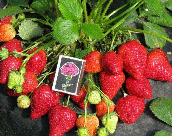 Спичечный коробок и ягоды садовой земляники
