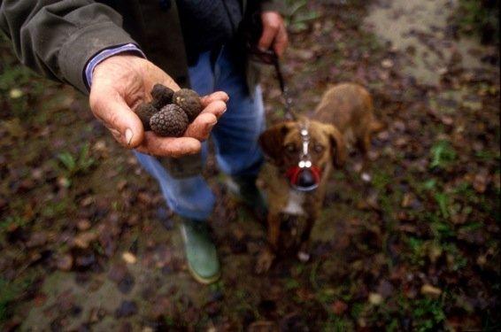 Трюфель, найденный собакой