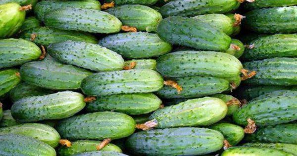 Урожай огурцов Маринда