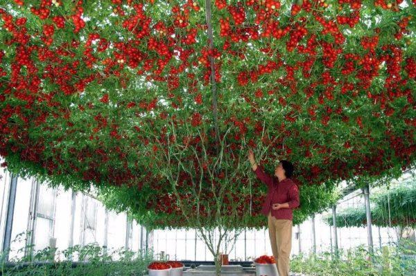 Женщина под помидорным деревом
