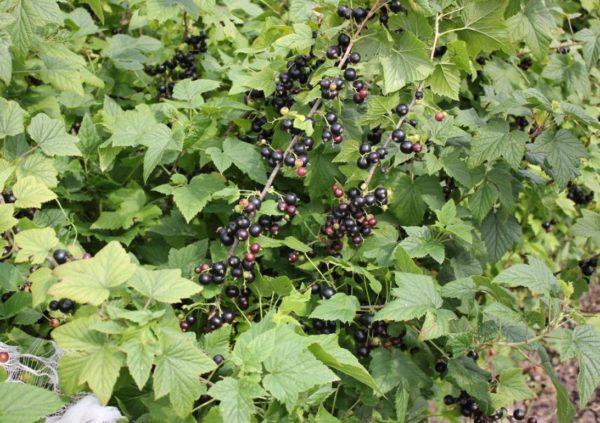Куст чёрной смородины Селеченская-2