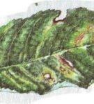Мозаичная болезнь черешни