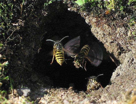Осиное гнездо в земле