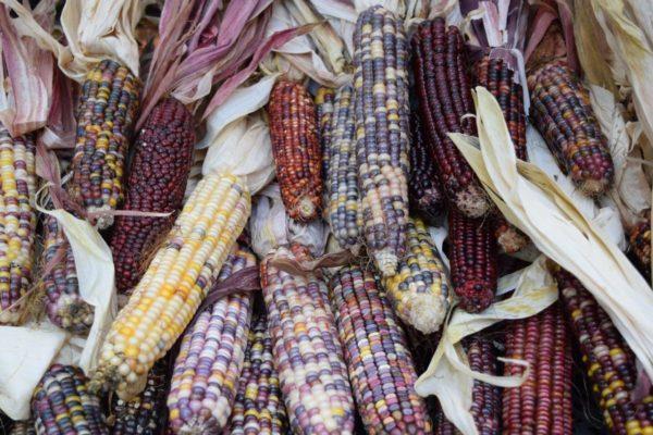 Початки кукурузы сорта Хопи