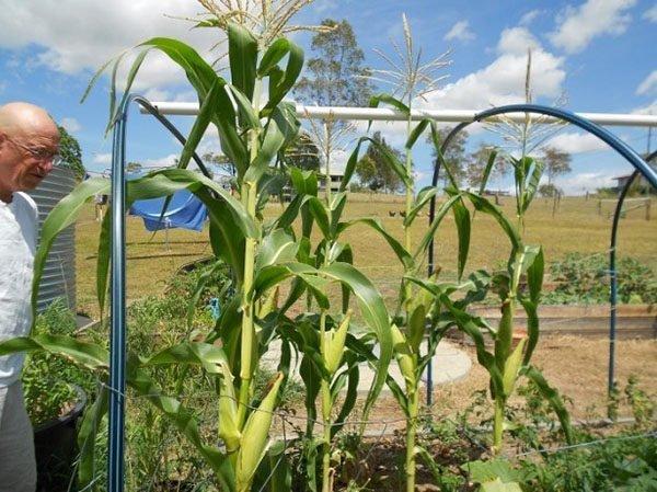 Подпорка для кукурузы