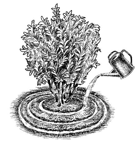 Полив чёрной смородины