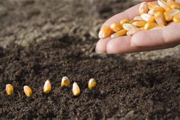 Посев кукурузных семян