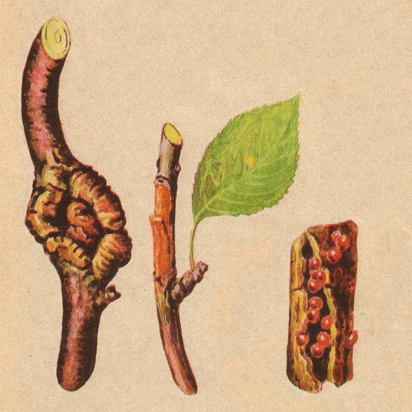 Пример поражённых ветвей черешни