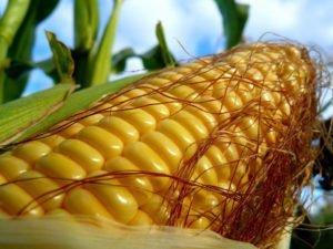 растет кукуруза