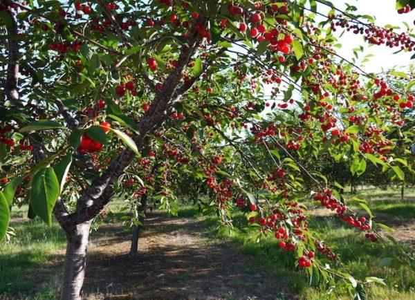 Урожайность черешни