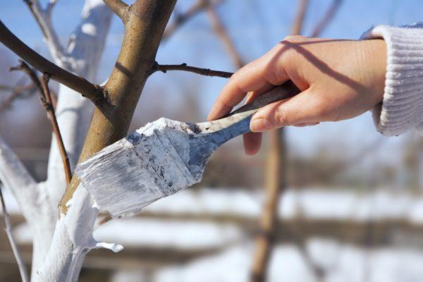 Whitewashing plum