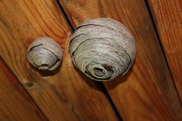 Осиное гнездо под потолком бани