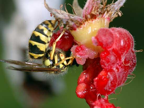 Поедание осами ягод малины