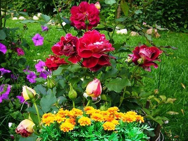 Бархатцы рядом с розой