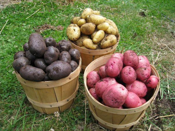 Картофель разных сортов в вёдрах