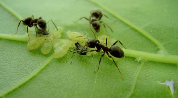 Тля и муравьи